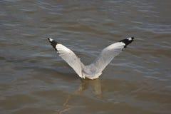 Seemöwe verbreitete die Flügel Lizenzfreies Stockfoto