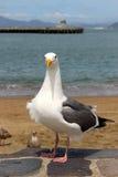 Seemöwe, welche die Kamera auf dem Ufer steht und betrachtet Lizenzfreies Stockfoto