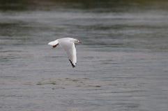 Seemöweflugwesen über dem Wasser Lizenzfreies Stockfoto