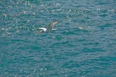 Seemöweflugwesen über Ozean Lizenzfreies Stockfoto