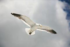 Seemöweflugwesen stockfoto