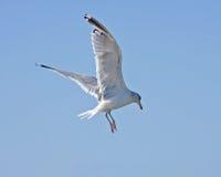 Seemöweflugwesen auf dem blauen Himmel Lizenzfreies Stockbild