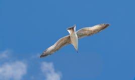 SeemöweLarus argentatus, das in den blauen Himmel schwimmt lizenzfreie stockfotografie