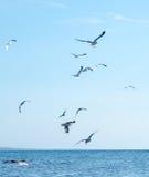 Seemöwen über Michigansee Stockbilder