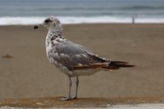 Seemöwen auf dem Strand Stockfoto