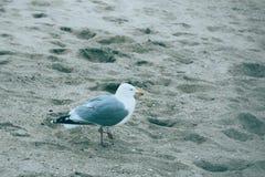 Seemöwen auf dem Strand in Holland lizenzfreie stockfotografie