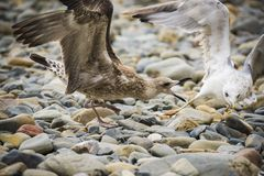 Seemöwen auf dem Ufer unter den Steinen Lizenzfreies Stockbild