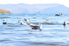 Seemöwen auf der Olkhon-Insel lizenzfreie stockbilder