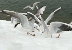 Seemöwen auf Schnee nahe dem See Lizenzfreie Stockbilder