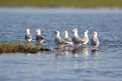 Seemöwen auf See stockfotografie