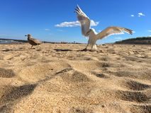 Seemöwen auf Strand Stockbild