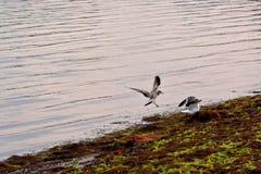 Seemöwen am Bucht-Rand bei Sonnenaufgang Lizenzfreie Stockfotos