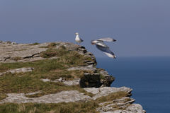 Seemöwen Cornwall Lizenzfreie Stockfotos