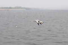 Seemöwen, die über das Meer fliegen Stockbilder