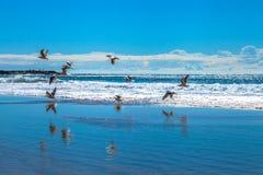 Seemöwen, die über Garie-Strand fliegen Stockfotos