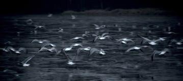 Seemöwen, die über Wasser, kühler Ton, horizontal fliegen stockbild