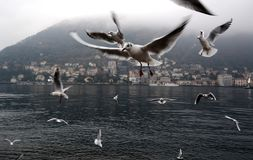 Seemöwen, die auf Como See fliegen lizenzfreie stockbilder