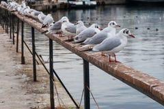 Seemöwen, die auf einer Schiene an der Küste sitzen Lizenzfreies Stockfoto
