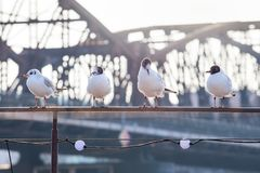 Seemöwen, die auf Geländer des Schiffs, freundlicher Kampf sich entspannen Lizenzfreie Stockfotos