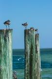 Seemöwen, die auf hölzernen Beiträgen durch den Ozean sitzen Stockfotografie