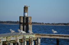 Seemöwen, die auf Pier bummeln Stockbild