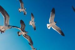 Seemöwen, die in blauen Himmel fliegen stockfotos
