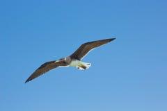 Seemöwen, die durch die Seeseite mit dem Hintergrund des Ozeans und des blauen Himmels fliegen und fischen Stockfoto
