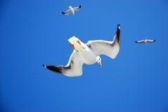 Seemöwen, die obenliegend fliegen Stockbild