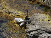 Seemöwen, die wütend zum Tod kämpfen lizenzfreie stockbilder