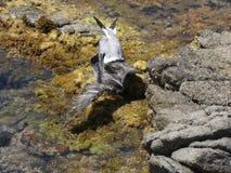 Seemöwen, die wütend zum Tod kämpfen lizenzfreies stockbild