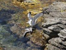 Seemöwen, die wütend zum Tod kämpfen stockfoto