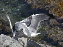 Seemöwen, die wütend zum Tod kämpfen stockfotos