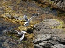 Seemöwen, die wütend zum Tod kämpfen stockbilder