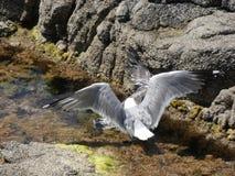 Seemöwen, die wütend zum Tod kämpfen lizenzfreies stockfoto