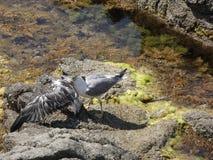 Seemöwen, die wütend zum Tod kämpfen lizenzfreie stockfotografie