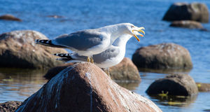 Seemöwen in einer Kolonie von Vögeln mit Stimmen Lizenzfreies Stockfoto