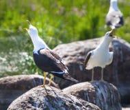 Seemöwen in einer Kolonie von Vögeln mit Stimmen Stockfoto