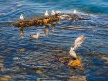 Seemöwen am felsigen Ufer von Sidney BC, Kanada Stockbild