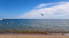 Seemöwen fliegen über die Küste stock video footage