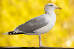 Seemöwen-gelber Natur-Tier-Vogel Stockfotografie