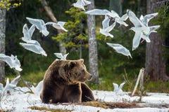 Seemöwen-Lachmöwe und erwachsener Mann des Braunbären lizenzfreie stockfotografie