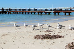 Seemöwen nähern sich Busselton Anlegestelle Westaustralien Stockfotos
