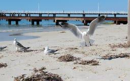 Seemöwen nähern sich Busselton Anlegestelle Westaustralien Stockfotografie