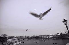 Seemöwen nähern sich Charles-Brücke Lizenzfreie Stockbilder
