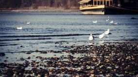 Seemöwen am Rand des Rheins an einem ruhigen Herbsttag stockfotos