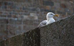 Seemöwen Saint Malo Lizenzfreie Stockfotografie