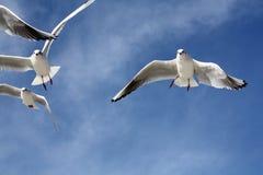 Seemöwen schließen Fliegen Lizenzfreies Stockbild