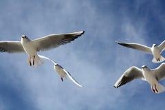 Seemöwen schließen Fliegen Stockbild