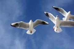 Seemöwen schließen Fliegen Stockfotos