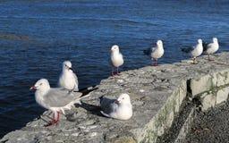 Seemöwen sind nach Neuseeland gebürtig stockfoto